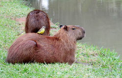 Capybara with a bird on its head Royalty Free Stock Photo