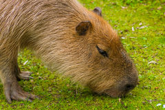 Capybara brown fur biber like on grass Stock Photography