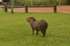 Capybara at a camping in Carlos Pellegrini, Argentina Stock Image