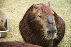 Capybara. It`s the largest rodent in the world. Its scientific name is Hydrochaeris hydrochaeris a member of the genus Hydrochoerus and has members who are in Royalty Free Stock Photo