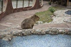 Capybara. In zoolife animal, fun, rodent Stock Photos