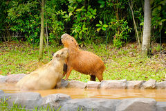 Capybara Stock Images