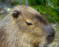 Capybara Stock Photography