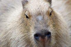 Capybara. Closeup view of a capybara Royalty Free Stock Image