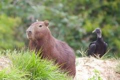 Capybara com o abutre que olha no fundo Imagem de Stock Royalty Free