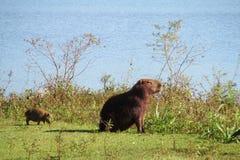 Capybara con un bebé en hierba verde cerca del lago Imagen de archivo