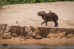 Capybara crossing sand with bird on back Royalty Free Stock Images
