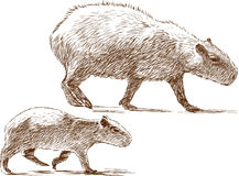 Capybara with a cub Stock Images