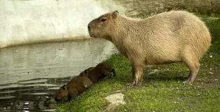 Capybara with cubs. A capybara mother with her babies royalty free stock image