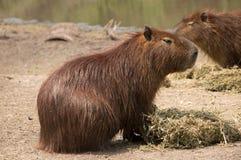Capybara in der natürlichen Reserve in Montevideo, Uruguay Lizenzfreies Stockfoto
