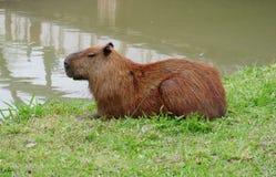Capybara dichtbij meer Royalty-vrije Stock Foto's