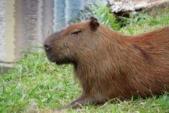 Capybara dichtbij meer Stock Afbeeldingen