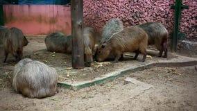 Capybara die in dierentuin eten HD 1920x1080 stock videobeelden