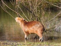 Capybara die zijn lichaam met een boom wrijven Stock Afbeelding