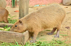Capybara eat grass Stock Photos