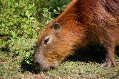 Capybara eating Stock Photos