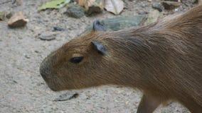 Capybara is een zoogdier inheems aan Zuid-Amerika Het is het grootste het leven knaagdier in de wereld Ook geroepen chigà ire ¼ royalty-vrije stock fotografie