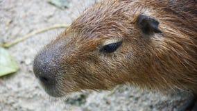 Capybara is een zoogdier inheems aan Zuid-Amerika Het is het grootste het leven knaagdier in de wereld Ook geroepen chigà ire ¼ royalty-vrije stock foto's