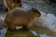 Capybara in einem Pool Stockbild