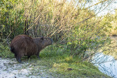 Capybara on El Palmar National Park, Argentina Stock Image