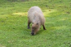 Capybara en el prado Imágenes de archivo libres de regalías