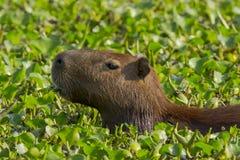 Capybara en gros plan mâchant des jacinthes d'eau Image stock