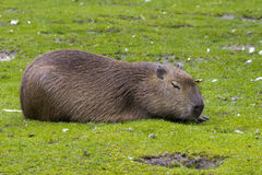 Capybara enjoying the sun. This South American capybara loves to swim and dry out in the sun afterwards in a green field Royalty Free Stock Images