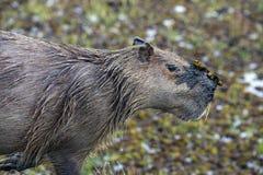 Capybara et x28 ; Hydrochaeris& x29 de Hydrochaeris ; avec la boue dans le visage Photo libre de droits