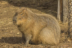 Capybara with eyes closed Royalty Free Stock Photos