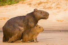 Capybara fêmea com bebê, no alerta Foto de Stock