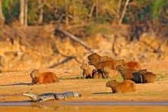 Capybara, família com jovens um caimão O rato o mais grande perto da água com luz durante o por do sol, Pantanal da noite, Brasil imagem de stock royalty free