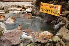 Capybara. A capybara family enjoy open-air hot spring Stock Images