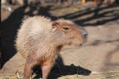 Capybara family Royalty Free Stock Photography
