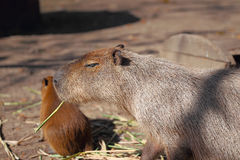 Capybara family Royalty Free Stock Image