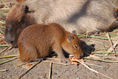 Capybara family Royalty Free Stock Photography