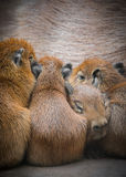Capybara Family. There's one in every family, including this family of capybaras!  nnCapybaras are the largest rodents and are from South America, but these ones Royalty Free Stock Photo