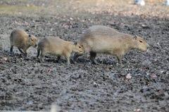 Capybara family Stock Images