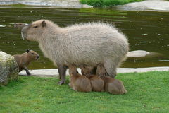 Capybara feeds its young Royalty Free Stock Image