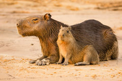 Capybara Female and Baby Resting on Sand. Royalty Free Stock Photos