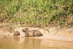 Capybara Female and Baby on Sunbathing on Riverbank Royalty Free Stock Photo