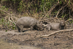 Capybara Female and Male (Scent Gland) on Mudbank Royalty Free Stock Image