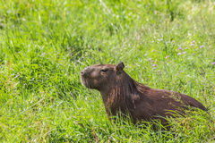 Capybara in the field Royalty Free Stock Photo