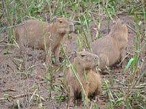 Capybara, fiume di Amazon Perù Fotografia Stock