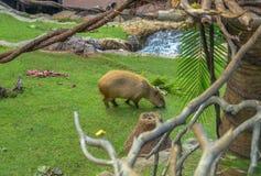 Capybara frôlant sur l'herbe Photos libres de droits