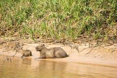 Capybara-Frau und Baby auf dem Ein Sonnenbad nehmen auf Riverbank Lizenzfreies Stockfoto