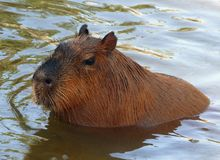 A South American Capybara Glistening from His Swim. A South American Capybara or Capibara seen in a three-quarters portrait as it emerges from the water stock image