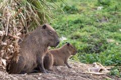 Capybara, grande sul - roedores americanos Fotografado no porto Lympne Safari Park perto de Ashford Kent Reino Unido imagem de stock royalty free