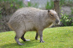 Capybara on grass Stock Photo