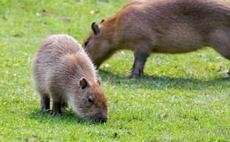 Capybara grazing on fresh green grass Royalty Free Stock Photo