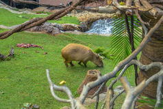 Capybara Grazing on Grass Royalty Free Stock Photos